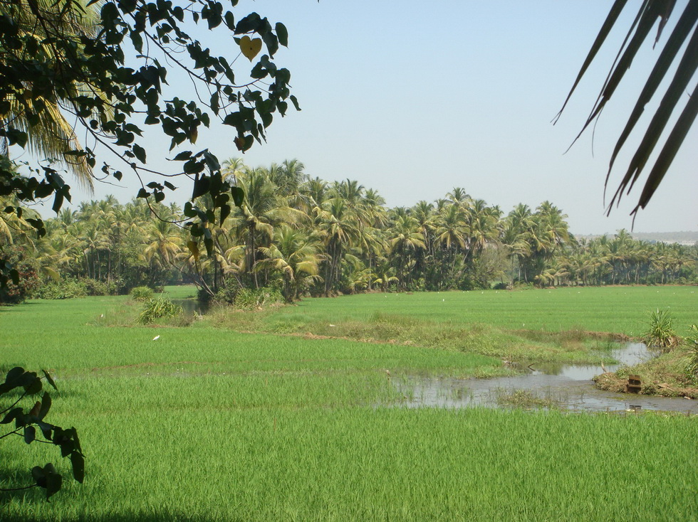Flooded Paddy