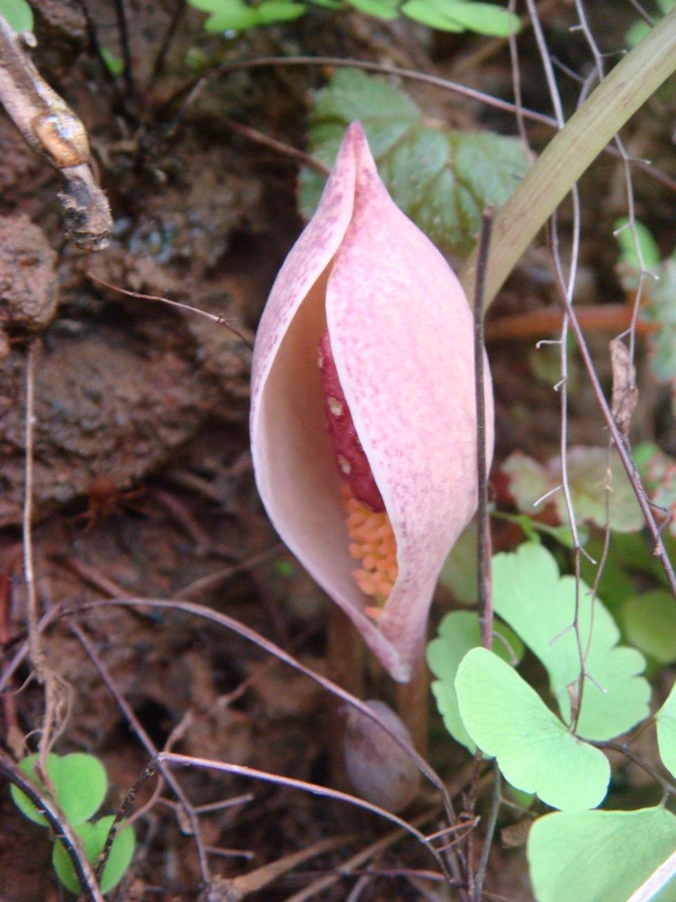 Arum (botanical genus)